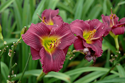 Little Grapette Daylily (Hemerocallis 'Little Grapette') at James Valley Nursery