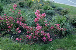 Sonic Bloom® Pink Reblooming Weigela (Weigela florida 'Bokrasopin') at James Valley Nursery