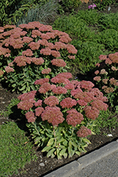 Autumn Fire Stonecrop (Sedum spectabile 'Autumn Fire') at James Valley Nursery