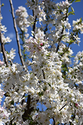 Sugar Tyme Flowering Crab (Malus 'Sugar Tyme') at James Valley Nursery