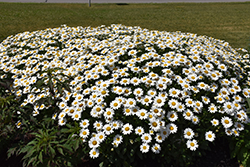 Becky Shasta Daisy (Leucanthemum x superbum 'Becky') at James Valley Nursery