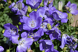 Rapido Blue Bellflower (Campanula carpatica 'Rapido Blue') at James Valley Nursery