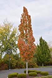 Armstrong Maple (Acer x freemanii 'Armstrong') at James Valley Nursery