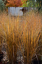 Northwind Switch Grass (Panicum virgatum 'Northwind') at James Valley Nursery