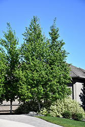 Trembling Aspen (Clump) (Populus tremuloides '(clump)') at James Valley Nursery