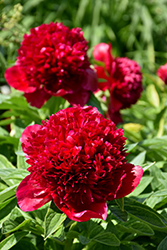 Red Charm Peony (Paeonia 'Red Charm') at James Valley Nursery
