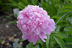 Sarah Bernhardt Peony (Paeonia 'Sarah Bernhardt') at James Valley Nursery