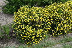 Dakota Sunspot Potentilla (Potentilla fruticosa 'Fargo') at James Valley Nursery