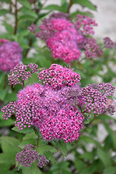 Superstar™ Spirea (Spiraea x bumalda 'Denistar') at James Valley Nursery
