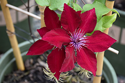 Boulevard® Nubia™ Clematis (Clematis 'Evipo079') at James Valley Nursery