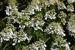 Baby Lace Hydrangea (Hydrangea paniculata 'PIIHP-I') at James Valley Nursery