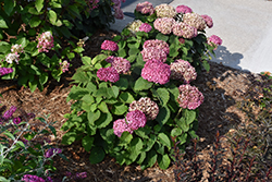 Invincibelle® Mini Mauvette Hydrangea (Hydrangea arborescens 'NCHA7') at James Valley Nursery