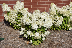 Bobo® Hydrangea (Hydrangea paniculata 'ILVOBO') at James Valley Nursery