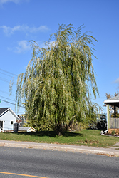 Prairie Cascade Weeping Willow (Salix 'Prairie Cascade') at James Valley Nursery