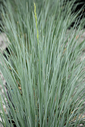 Sapphire Blue Oat Grass (Helictotrichon sempervirens 'Sapphire') at James Valley Nursery
