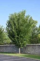 Princeton Elm (Ulmus americana 'Princeton') at James Valley Nursery