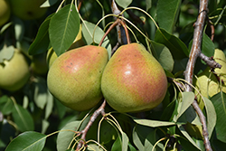 Parker Pear (Pyrus 'Parker') at James Valley Nursery