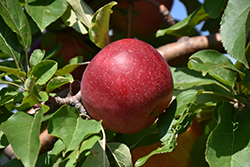 Haralred Apple (Malus 'Haralred') at James Valley Nursery