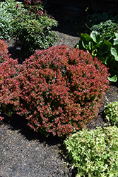 Golden Ruby Barberry (Berberis thunbergii 'Goruzam') at James Valley Nursery
